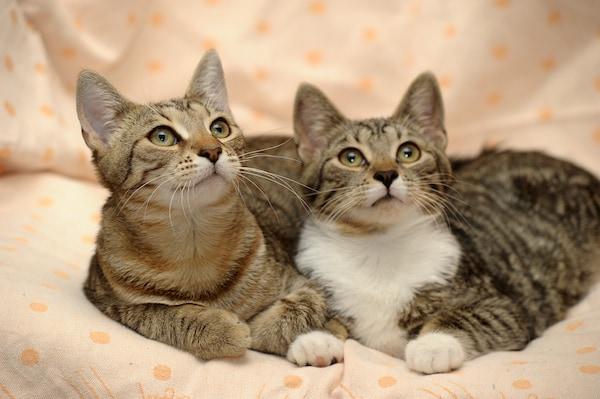 faire rencontrer 2 chats adultes